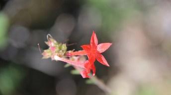 Scarlet Gilia - Gilia Aggregata