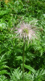 Anémone Pulsatille - Pulsatilla occidentalis