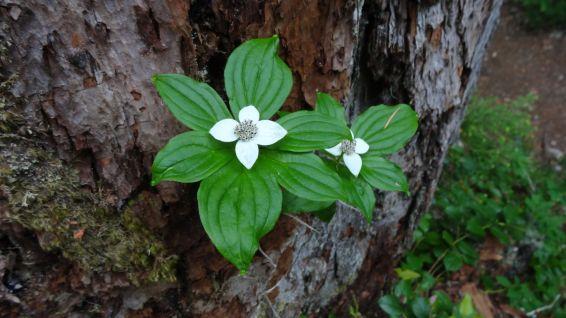 Dwarf Dogwood - Western Cordilleran Bunchberry