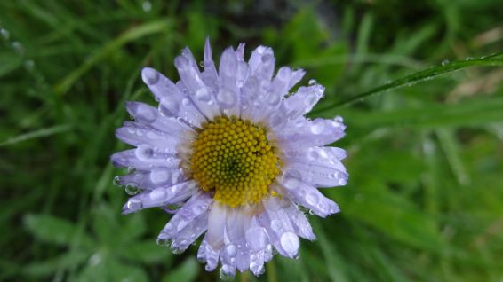 Mountain Daisy - Erigeron