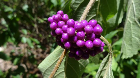 American Beautyberry - Callicarpa Americana