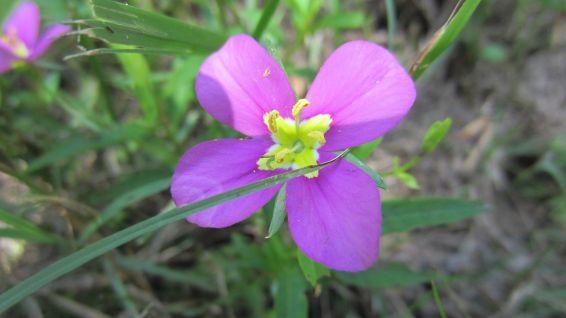 Meadow Pink - Sabatia Campestris