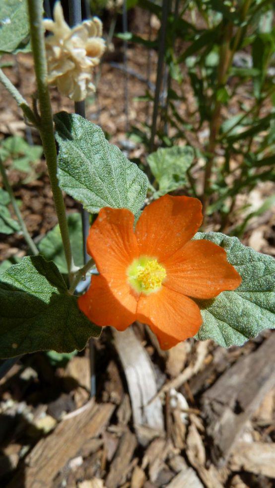Scarlet Globemallow – Sphaeralcea Coccinea