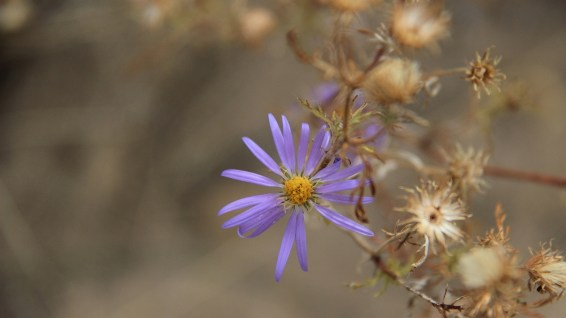 Wild Purple Aster - Asteraceae
