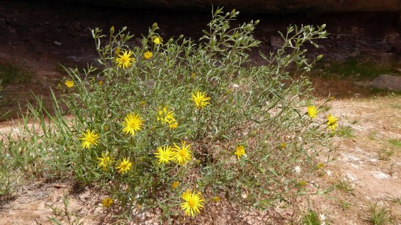 Hairy Golden Aster - Heterotheca Villosa