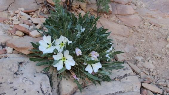 Tufted Evening Primrose - Oenothera Caespitosa