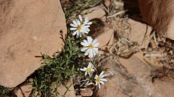 Rose Heath - Chaetopappa Ericoides