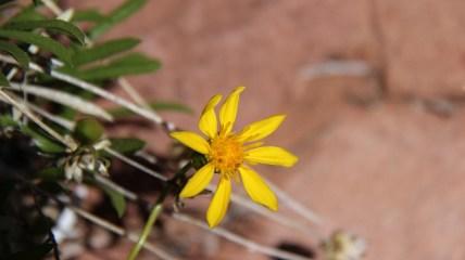 Hairy Golden Aster - Heterotheca Villosa