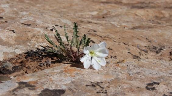 Tufted Evening Primrose – Oenothera Caespitosa