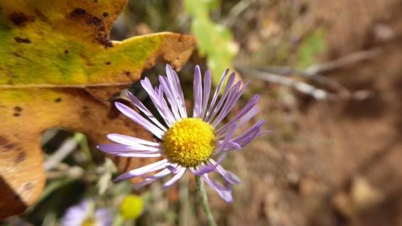 Beautiful Daisy - Erigeron Formosissimus