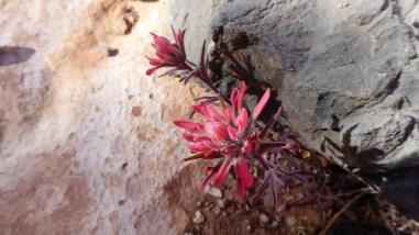 Magenta Indian Paintbrush - Castilleja Parviflora