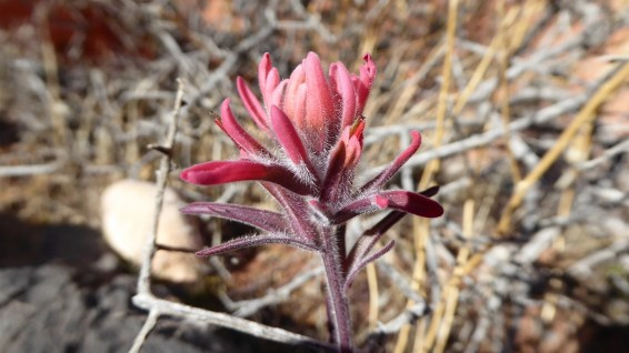 Magenta Indian Paintbrush - Castilleja Parviflora