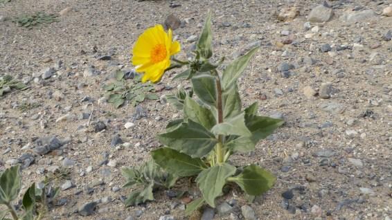 Desert Gold - Geraea Canescens