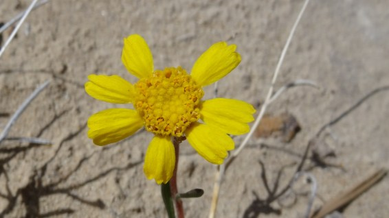 Four-Nerve Daisy - Tetraneuris Argentea