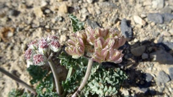 Spring Parsley - Cymopterus Purpurascens