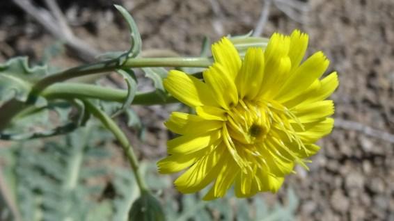 Desert Dandelion - Malacothrix Sonchoides