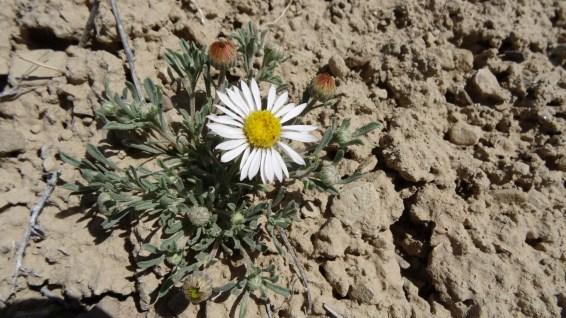 Silvery Townsendia – Townsendia Florifer