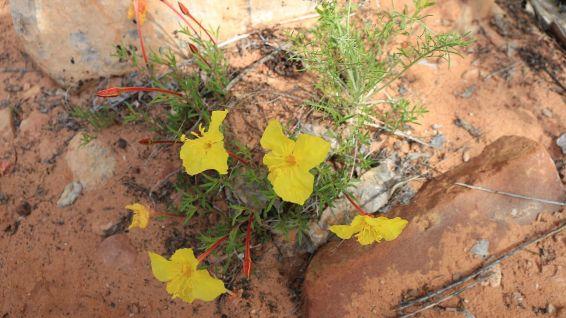 Yellow Evening Primrose - Calylophus Serrulatus