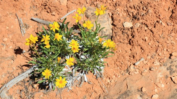 Desert Daisy - Chrysactinia Mexicana
