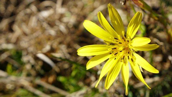 Salsifis des Prés - Tragopogon Pratensis