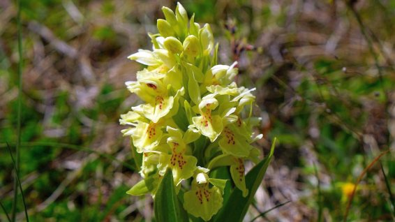 Orchis Sureau - Dactylorhiza Sambucina
