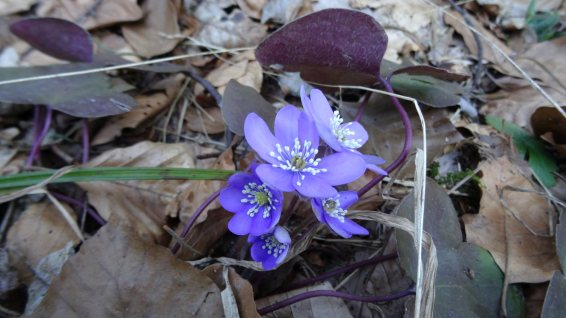Anémone Hépatique – Hepatica Nobilis