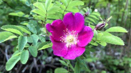 Eglantier - Rosa Canina