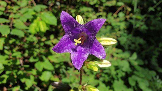 Campanule à Feuilles d'Ortie - Campanula Trachelium