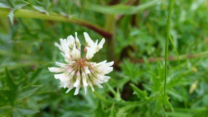 Trèfle Rampant - Trifolium Repens