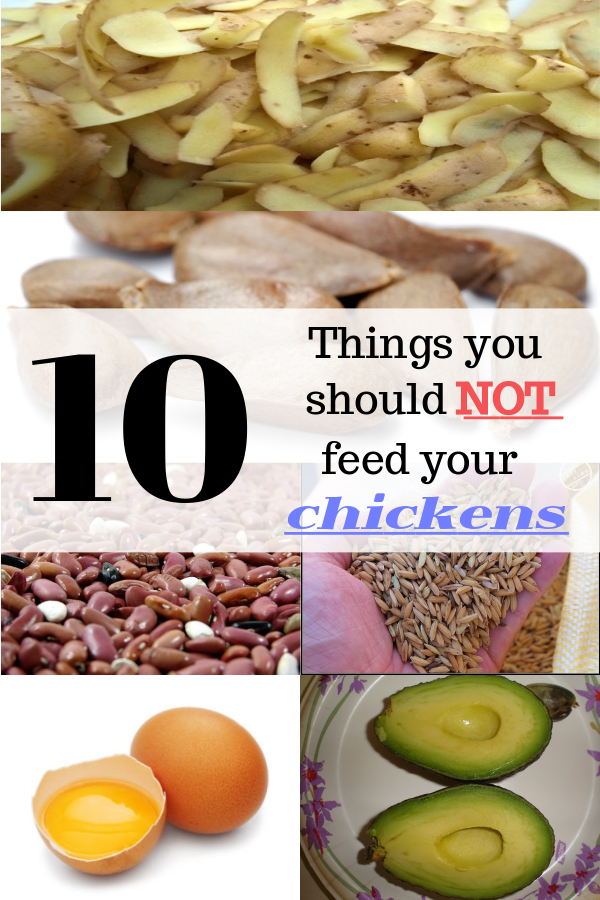 10 Things you should NOT feed your chicken