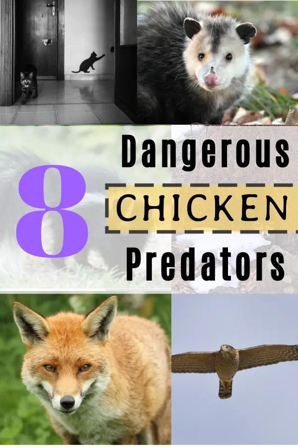 8 Most Dangerous Chicken Predators. Be Aware of Number 2!!