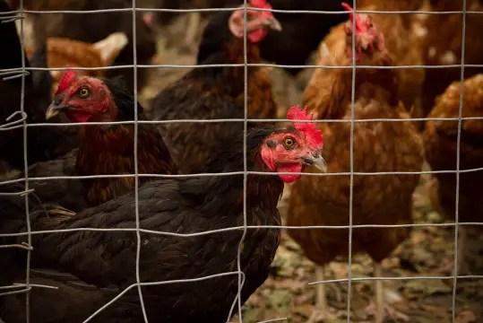 Chicken farm, egg industry