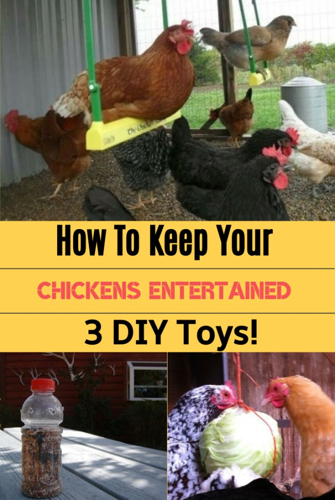 How To Keep Your Chickens Entertained & 3 DIY Toys!