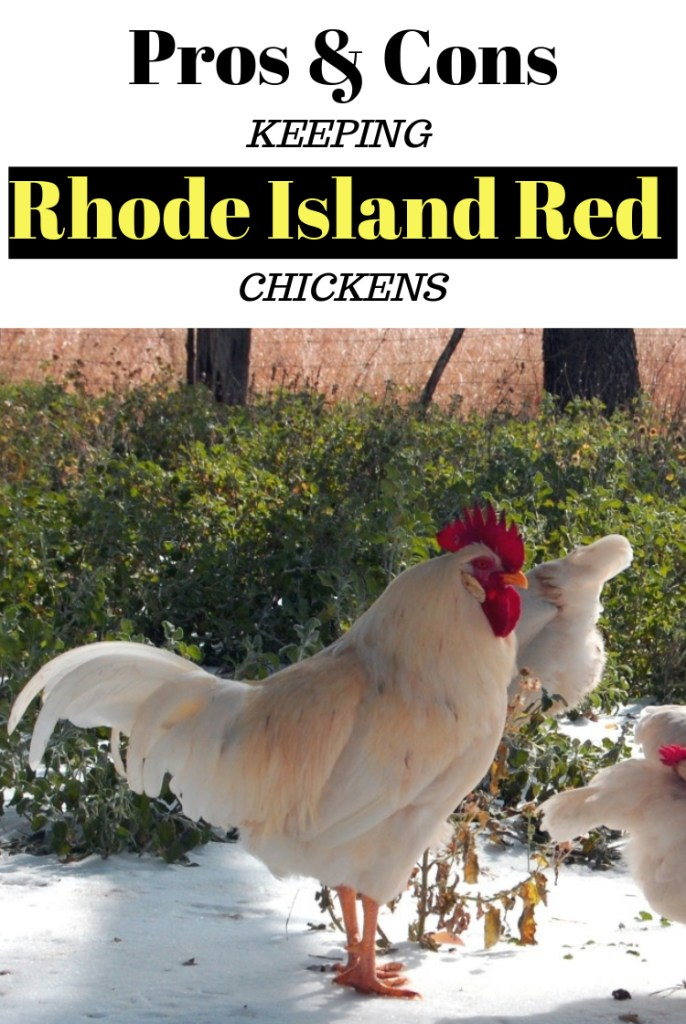 Pros & Cons Keeping Rhode Island Red Chickens