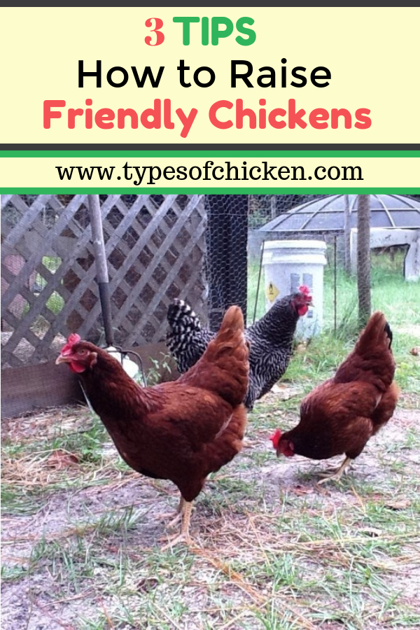 Tips On How To Raise Friendly Chickens! You will be surprised with Number 2!!!