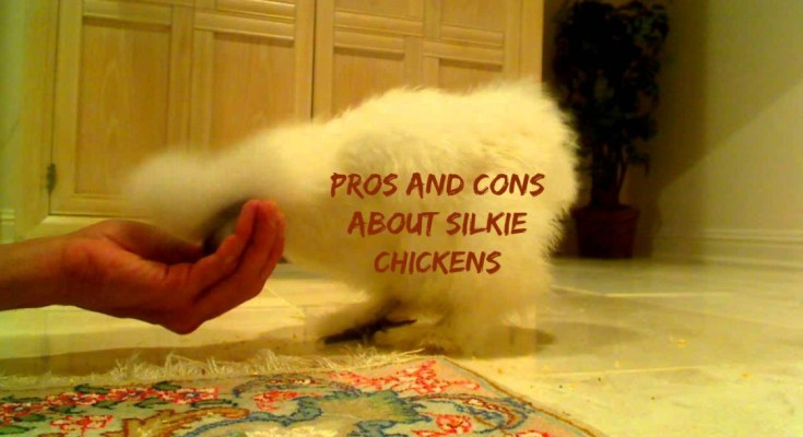 pros and cons about Silkie chickens