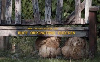 BUFF ORPINGTONS CHICKEN