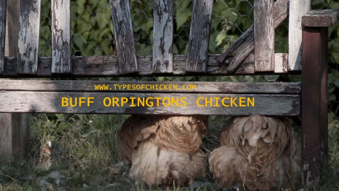 BUFF ORPINGTONS CHICKEN