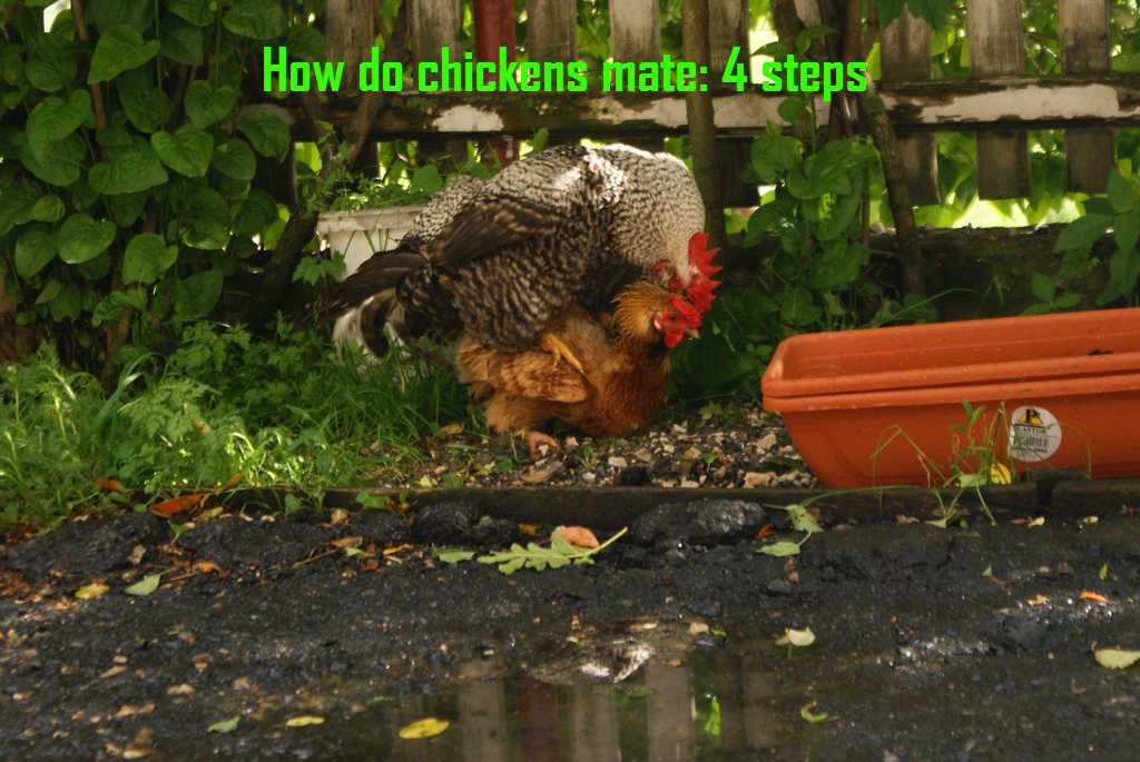 How do chickens mate: 4 Steps
