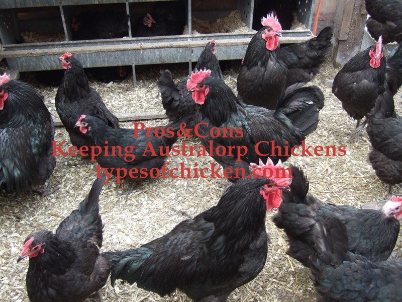 PROS & CONS of Keeping Australorp Chickens!