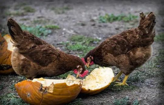 chicken games pumpkin