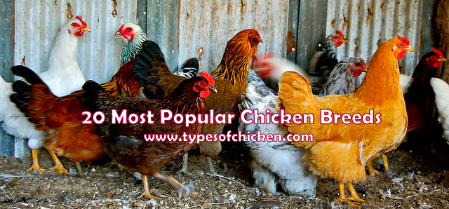 20 Most Popular Chicken Breeds! Great Addition To Your Flock!