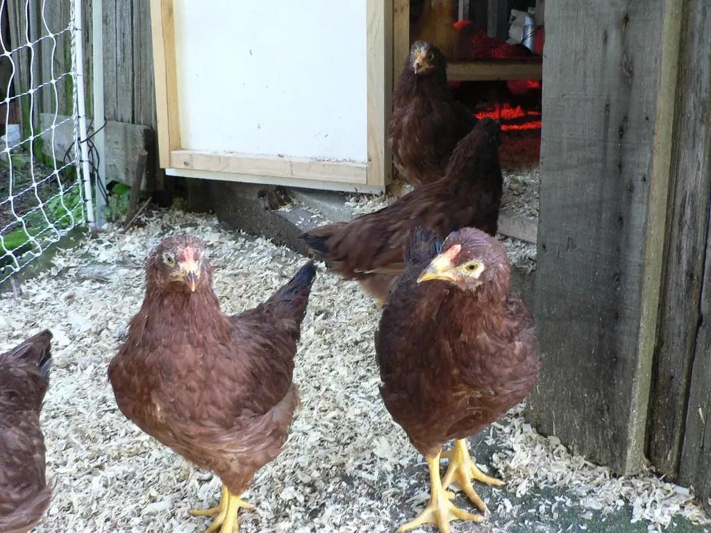 Buckeye Chicken Outdoor