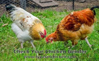 Check Your Chicken Gender