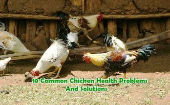 Common Chicken Health Problems and solutions