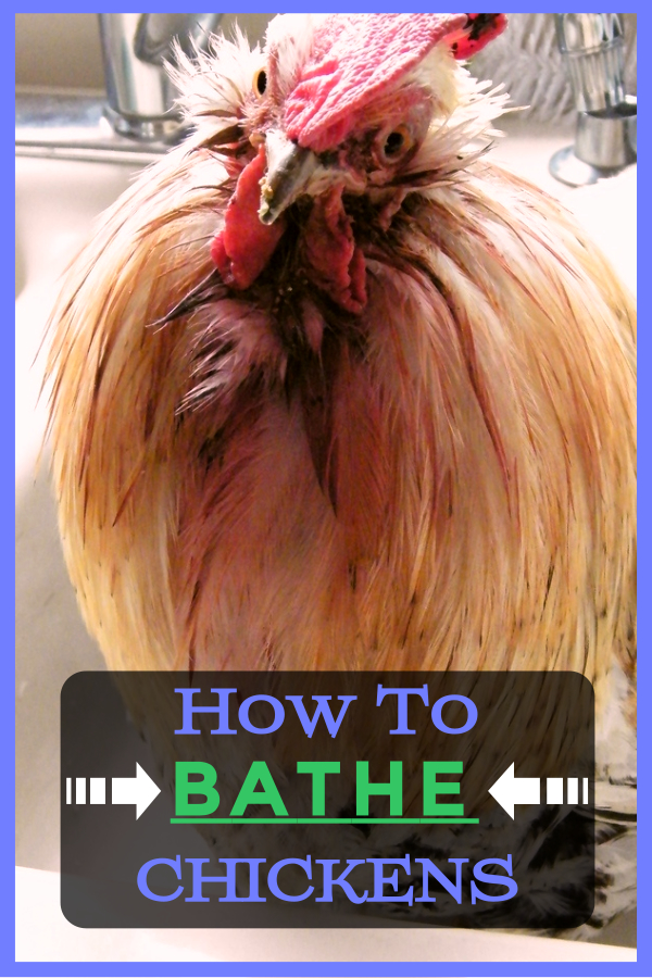 How to Bathe a Chicken Properly!