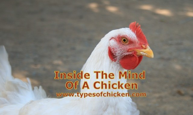 Inside The Mind Of A Chicken