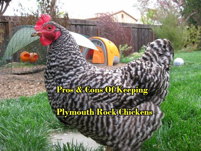 Pros & Cons Of Keeping Plymouth Rock Chickens