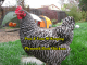 Plymouth Rock Chickens