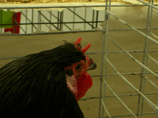 Horn Combs chickens
